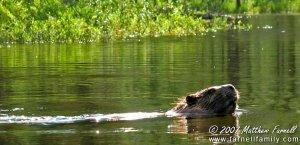 A curious beaver.